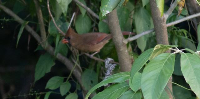 Female Northern Cardinal (presumed subspecies <em>saturatus</em>).