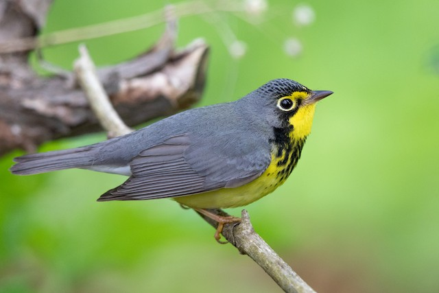 Definitive Alternate male Canada Warbler (13 May).