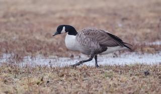 Canada Goose, ML133322241