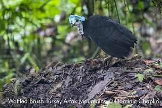 - Wattled Brushturkey