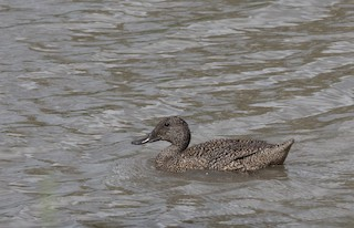 Freckled Duck, ML133431131