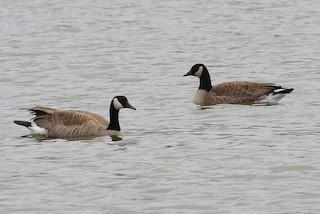 Canada Goose, ML133686841