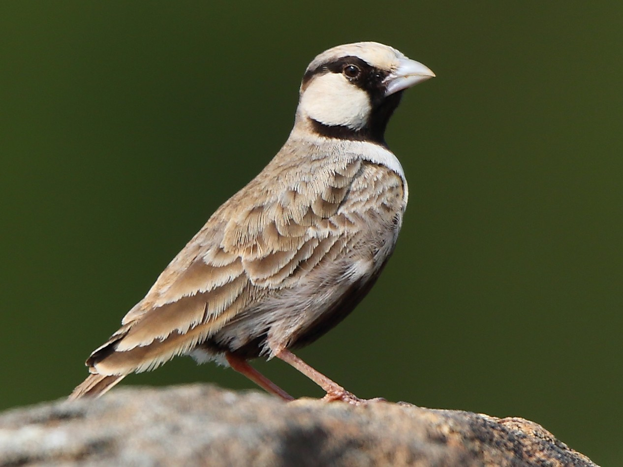 Ashy-crowned Sparrow-Lark - Albin Jacob