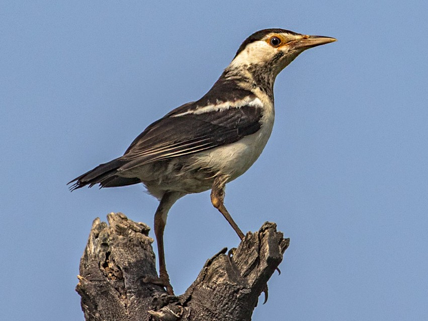 Asian Pied Starling - Kavi Nanda
