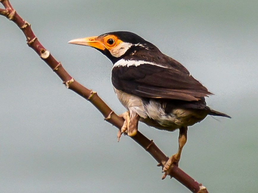 Asian Pied Starling - Arun Varghese