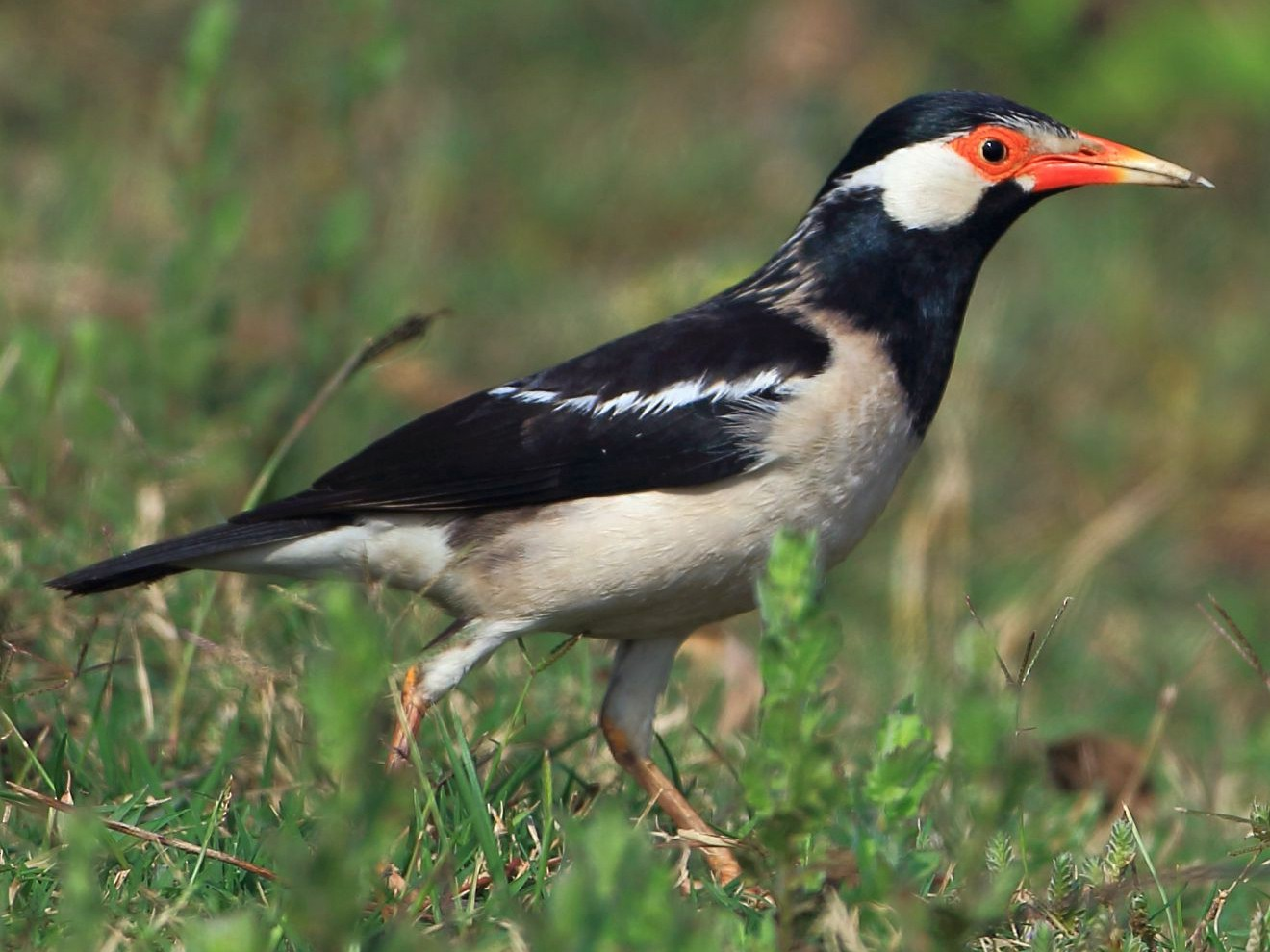 Asian Pied Starling - Arnab Pal