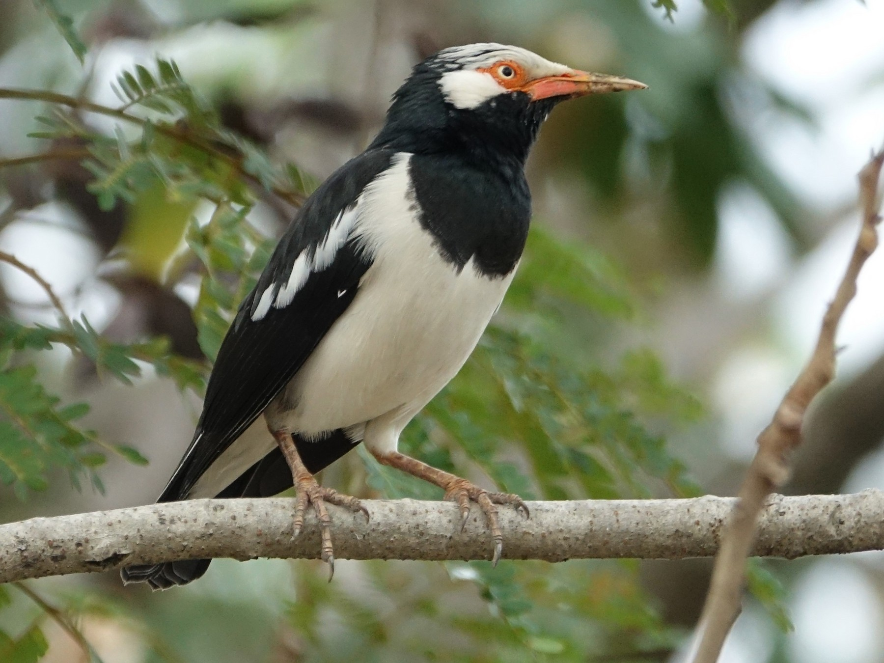 Asian Pied Starling - Martin Brookes