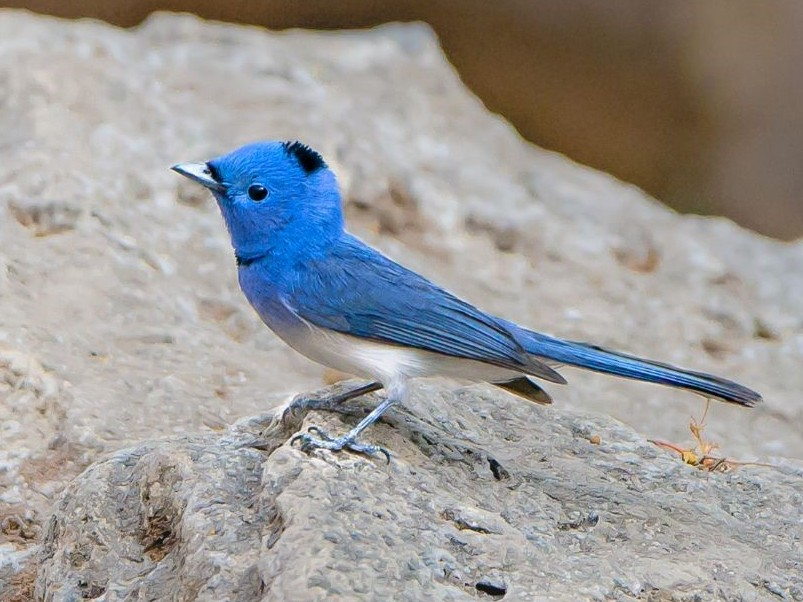 Black-naped Monarch - Rajesh Mangal
