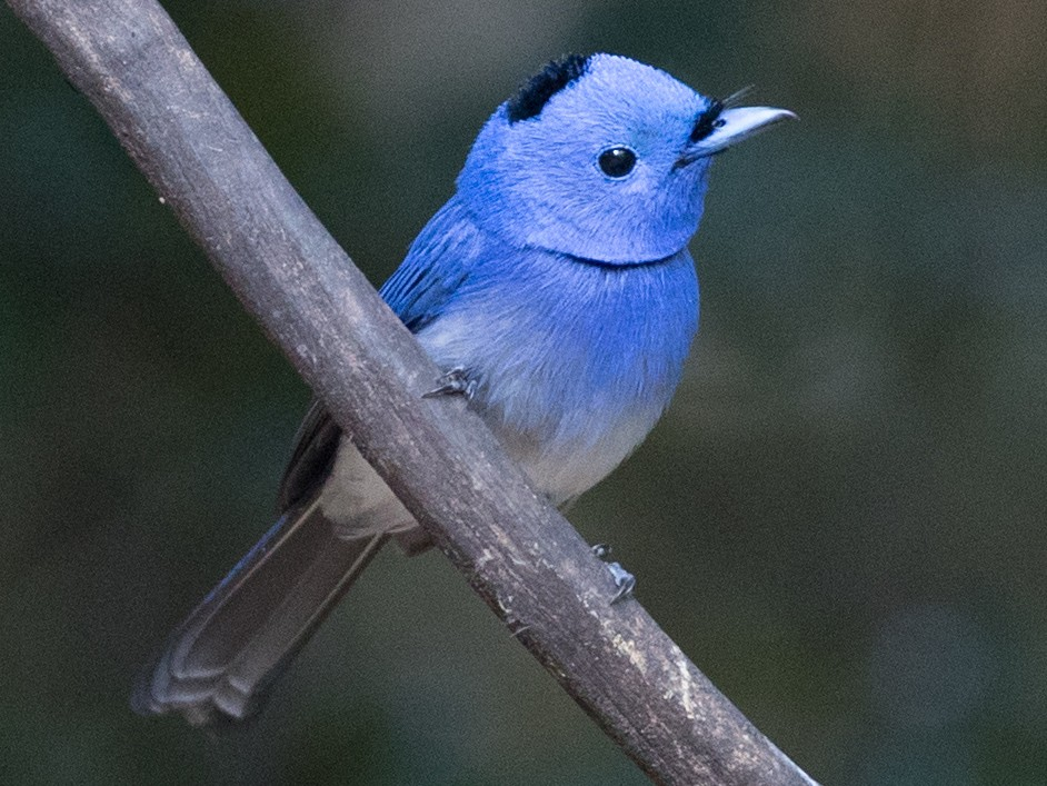 Black-naped Monarch - Ian Davies