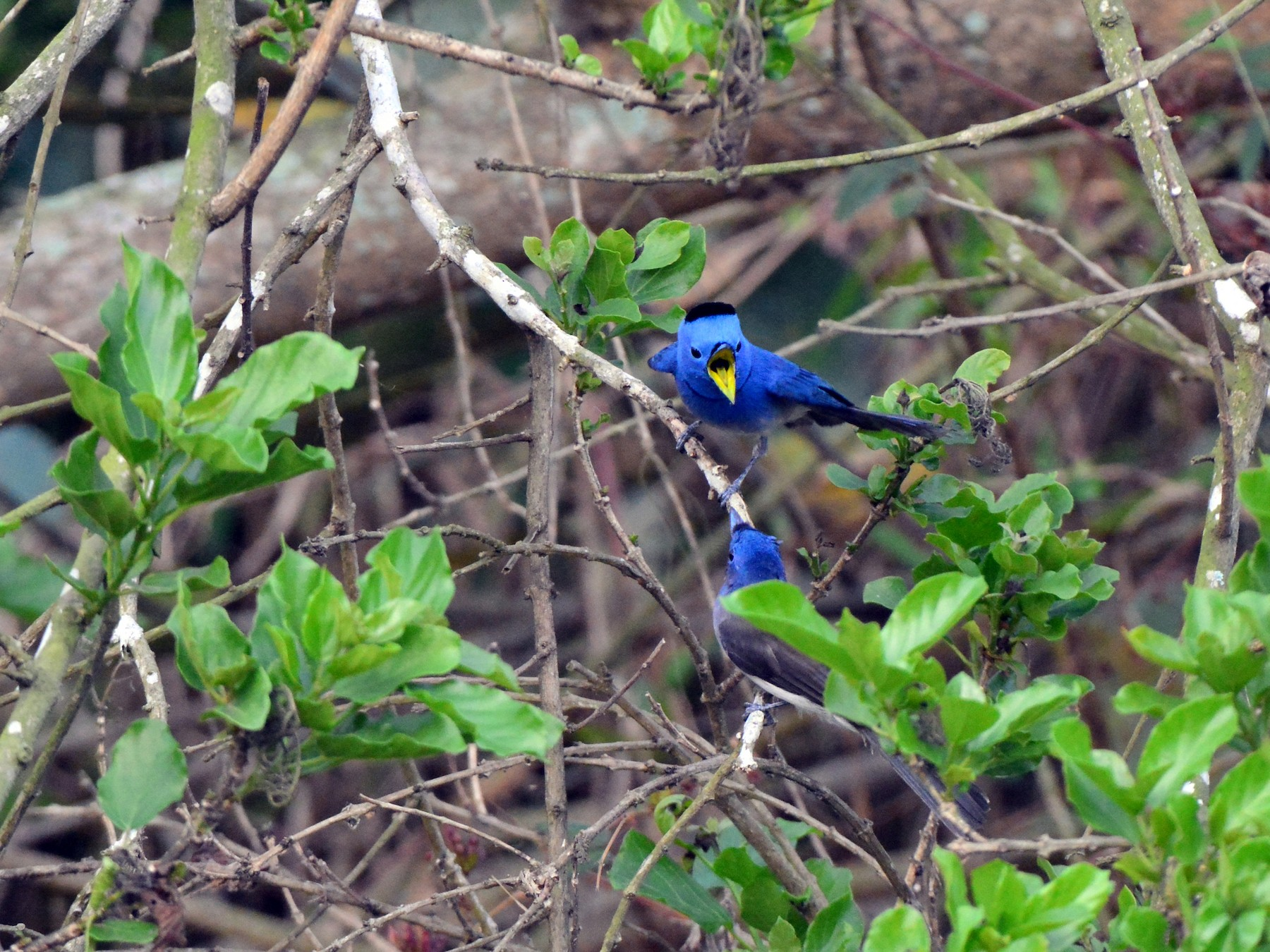 Black-naped Monarch - Jhih-Wei (志偉) TSAI (蔡)