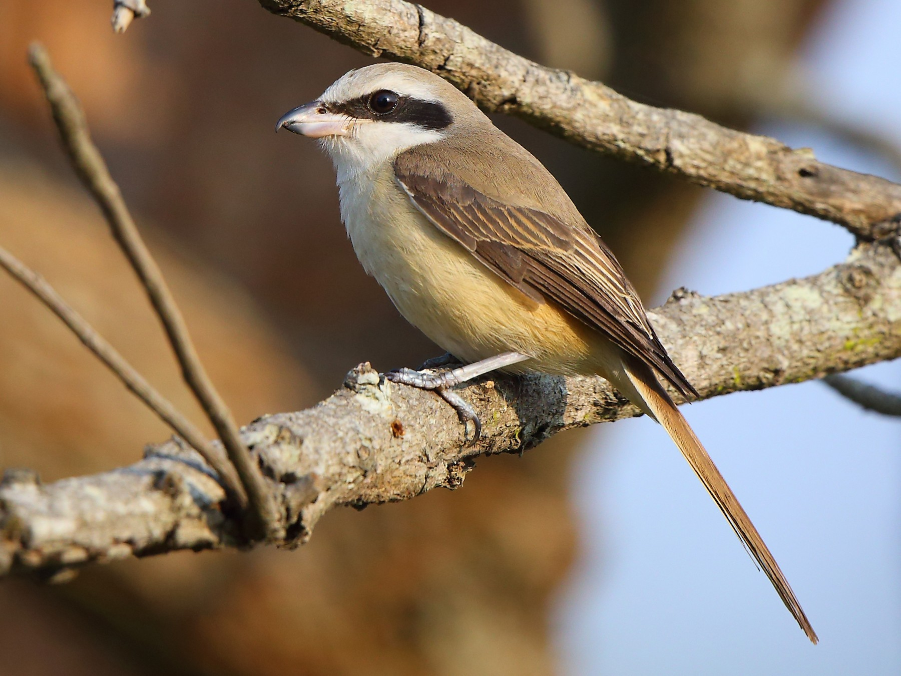 Brown Shrike - Albin Jacob