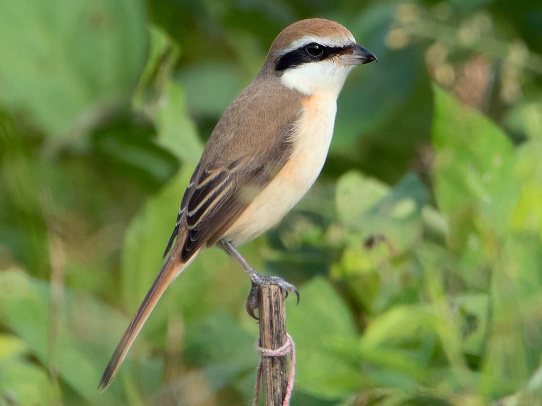 Brown Shrike - Ayuwat Jearwattanakanok