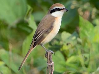 - Brown Shrike (Brown)