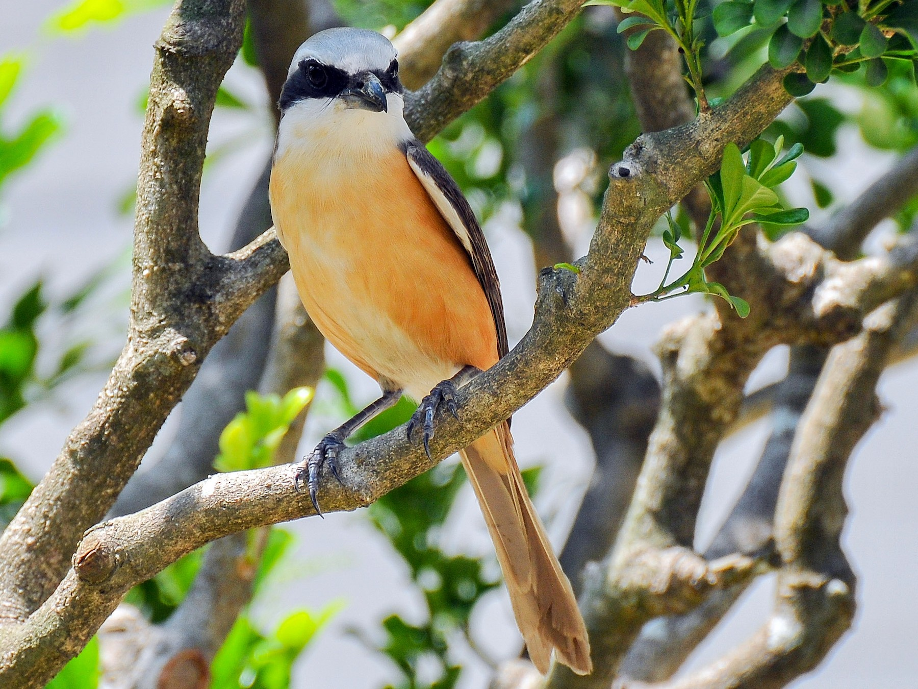 Brown Shrike - Cheng-Ru Tsai
