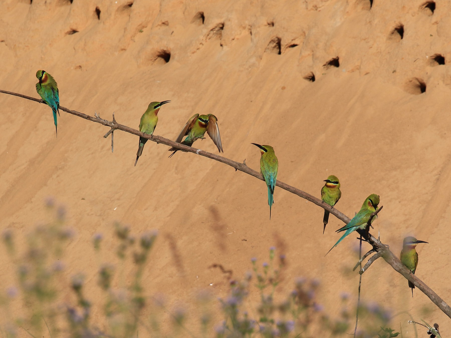 Blue-tailed Bee-eater - ST Chien