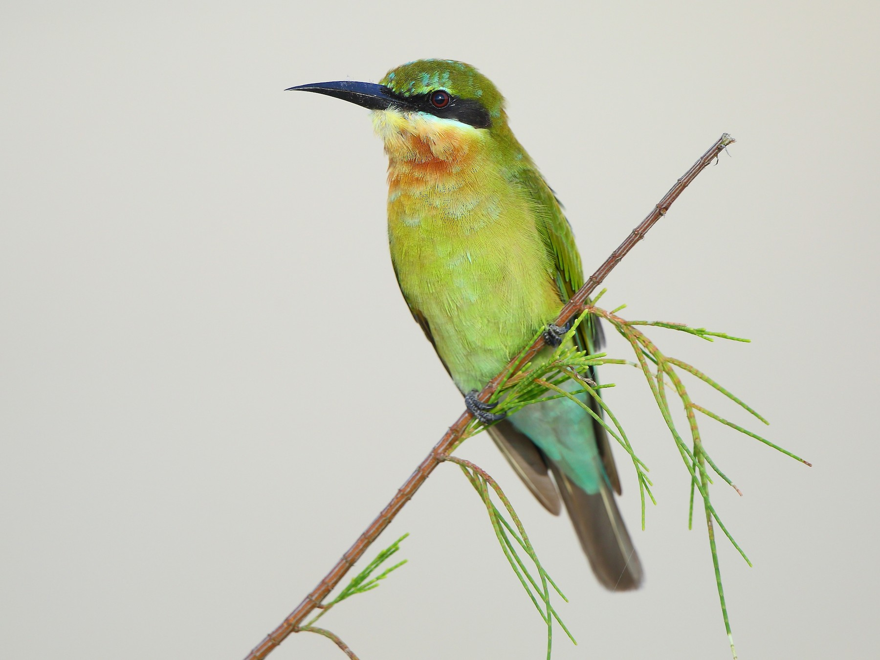 Blue-tailed Bee-eater - Albin Jacob