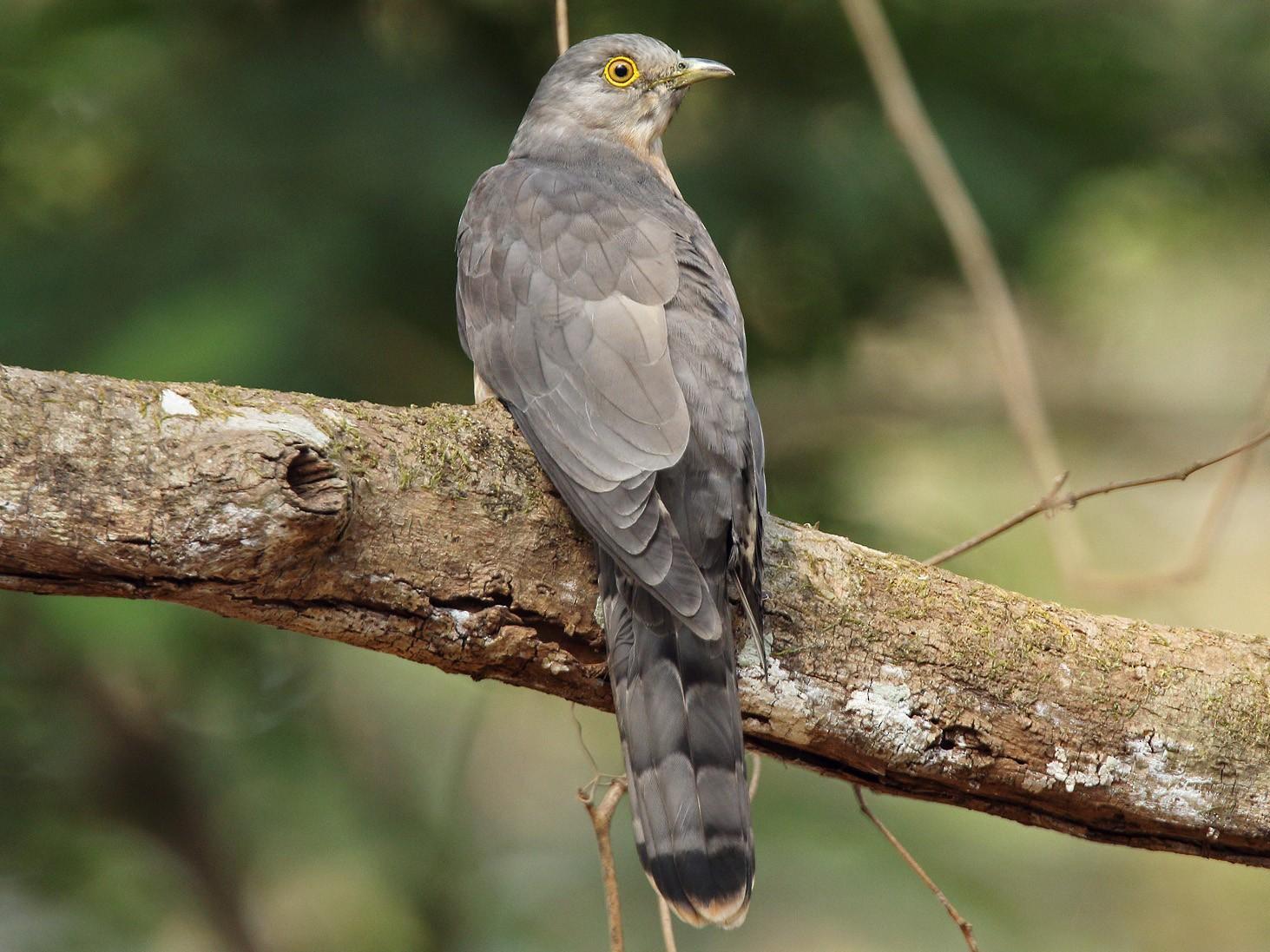 Common Hawk-Cuckoo - Martjan Lammertink