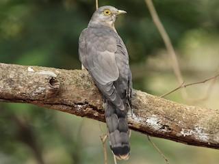 - Common Hawk-Cuckoo
