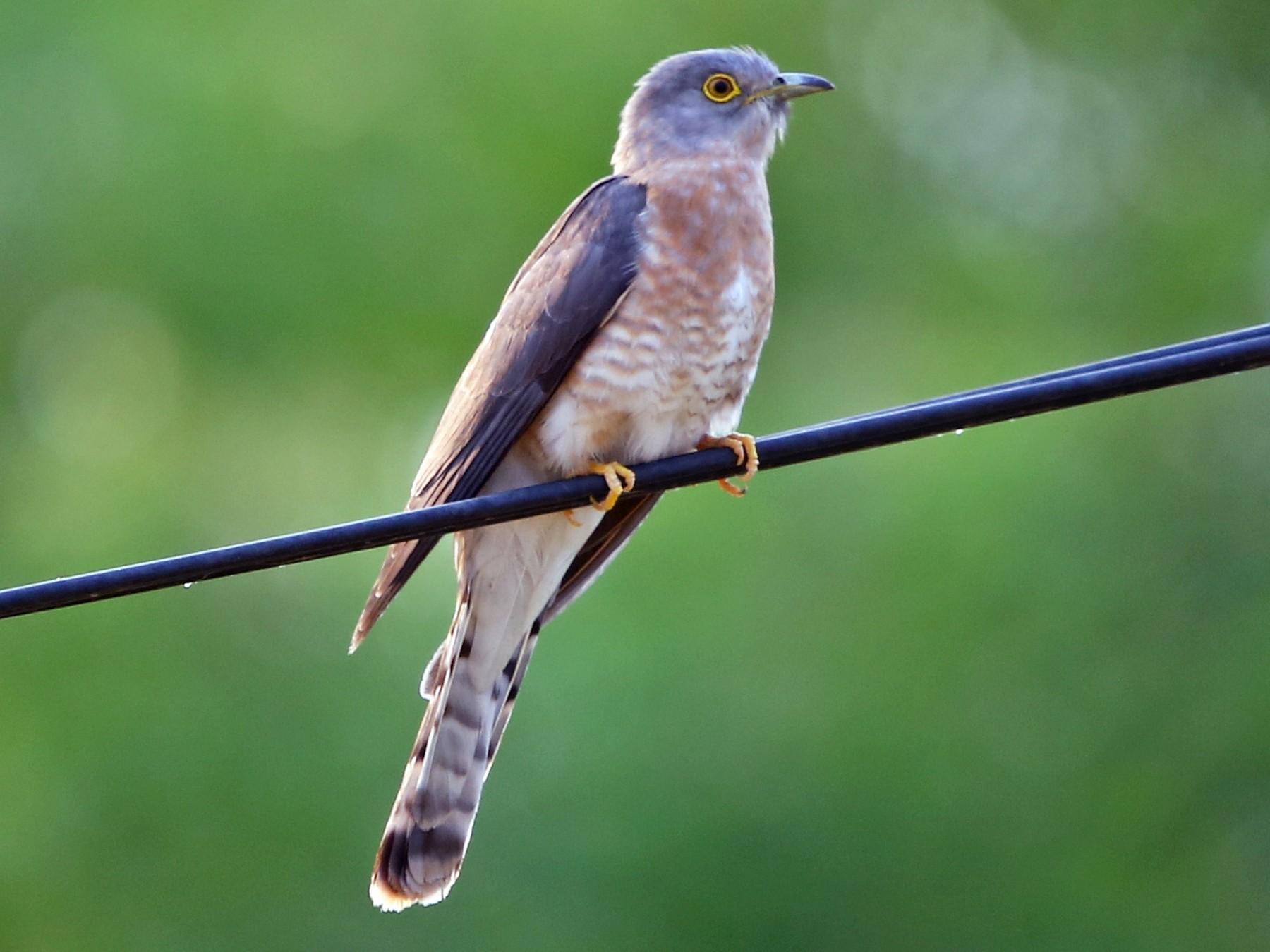 Common Hawk-Cuckoo - Bhaarat Vyas