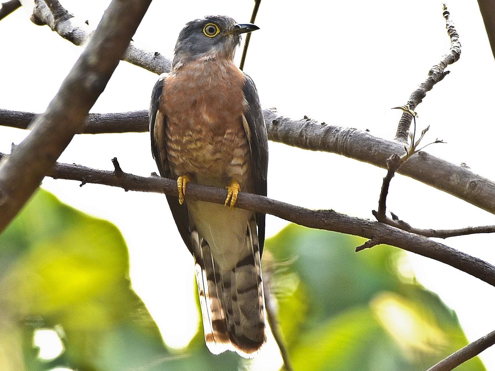 Common Hawk-Cuckoo - Arun Prabhu