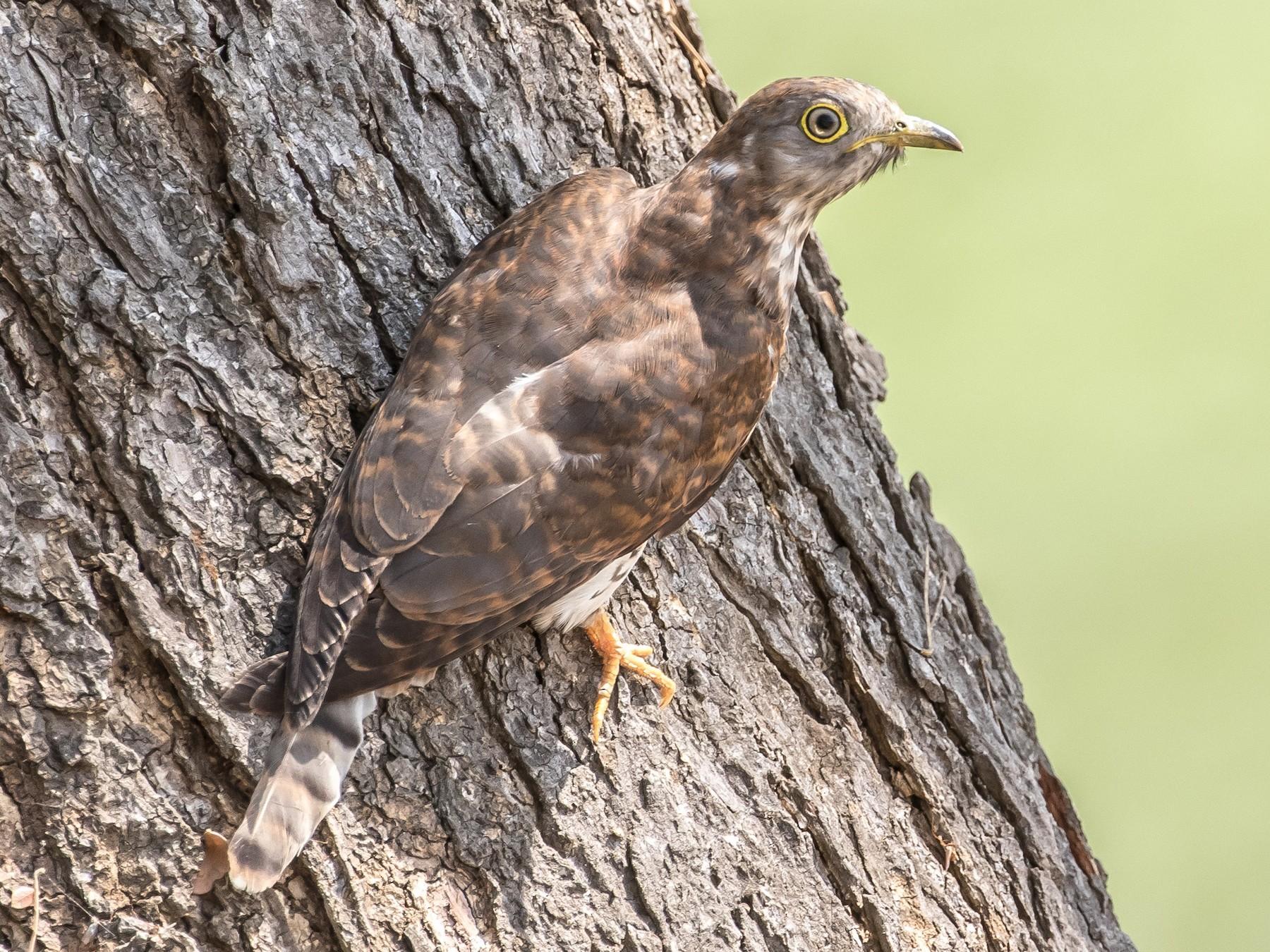 Common Hawk-Cuckoo - Ian Burgess