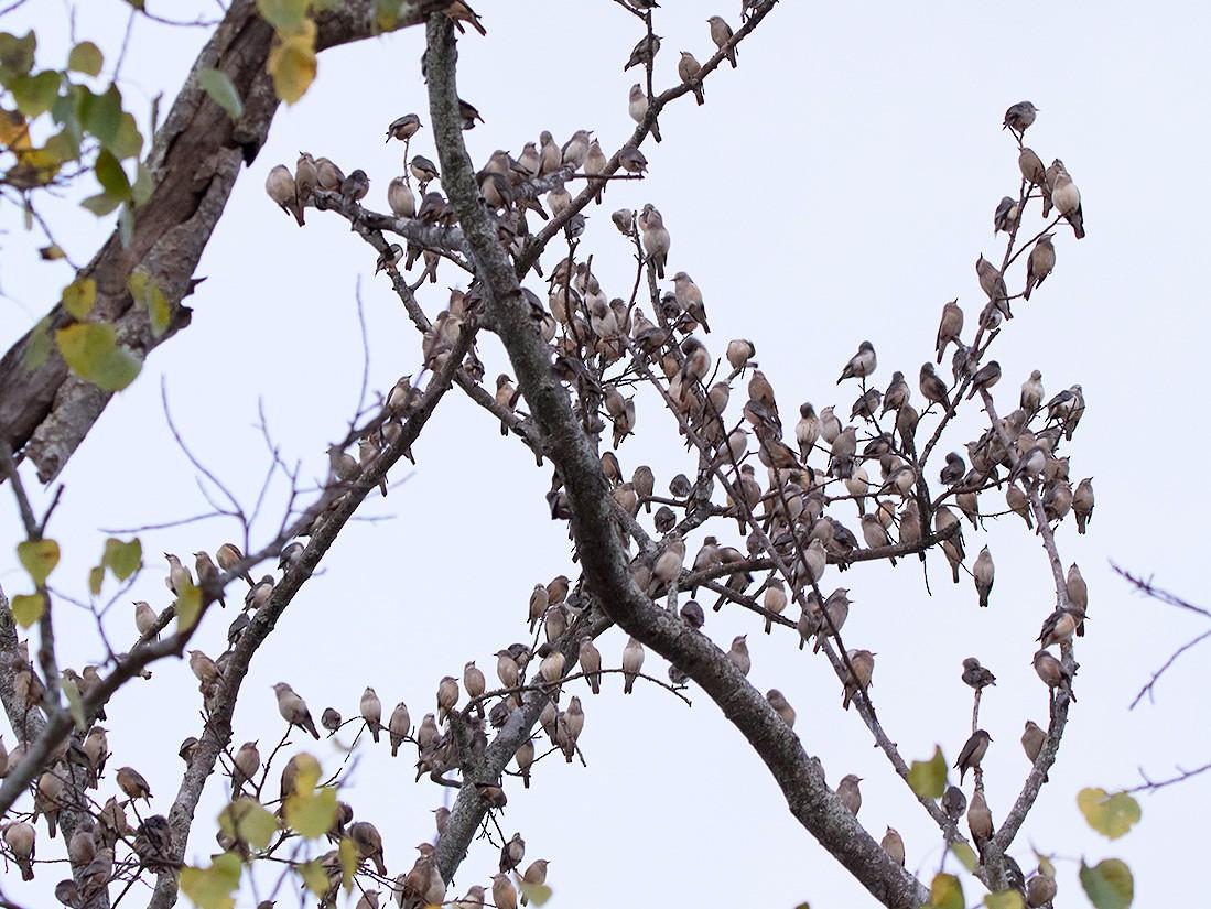 Chestnut-tailed Starling - Ayuwat Jearwattanakanok