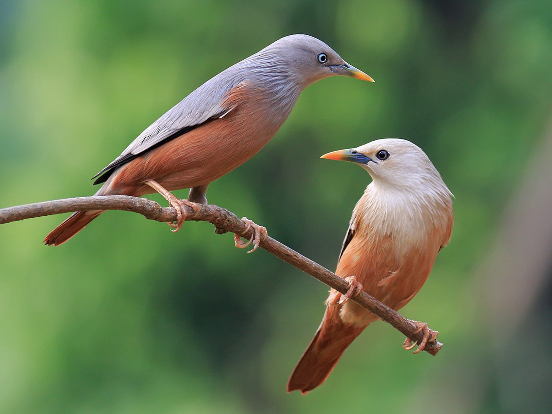 Chestnut-tailed Starling - Gavin Emmons