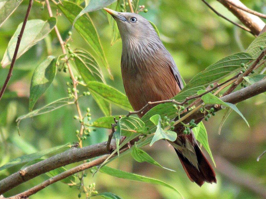 Chestnut-tailed Starling - Antonio Xeira