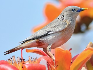 - Chestnut-tailed Starling