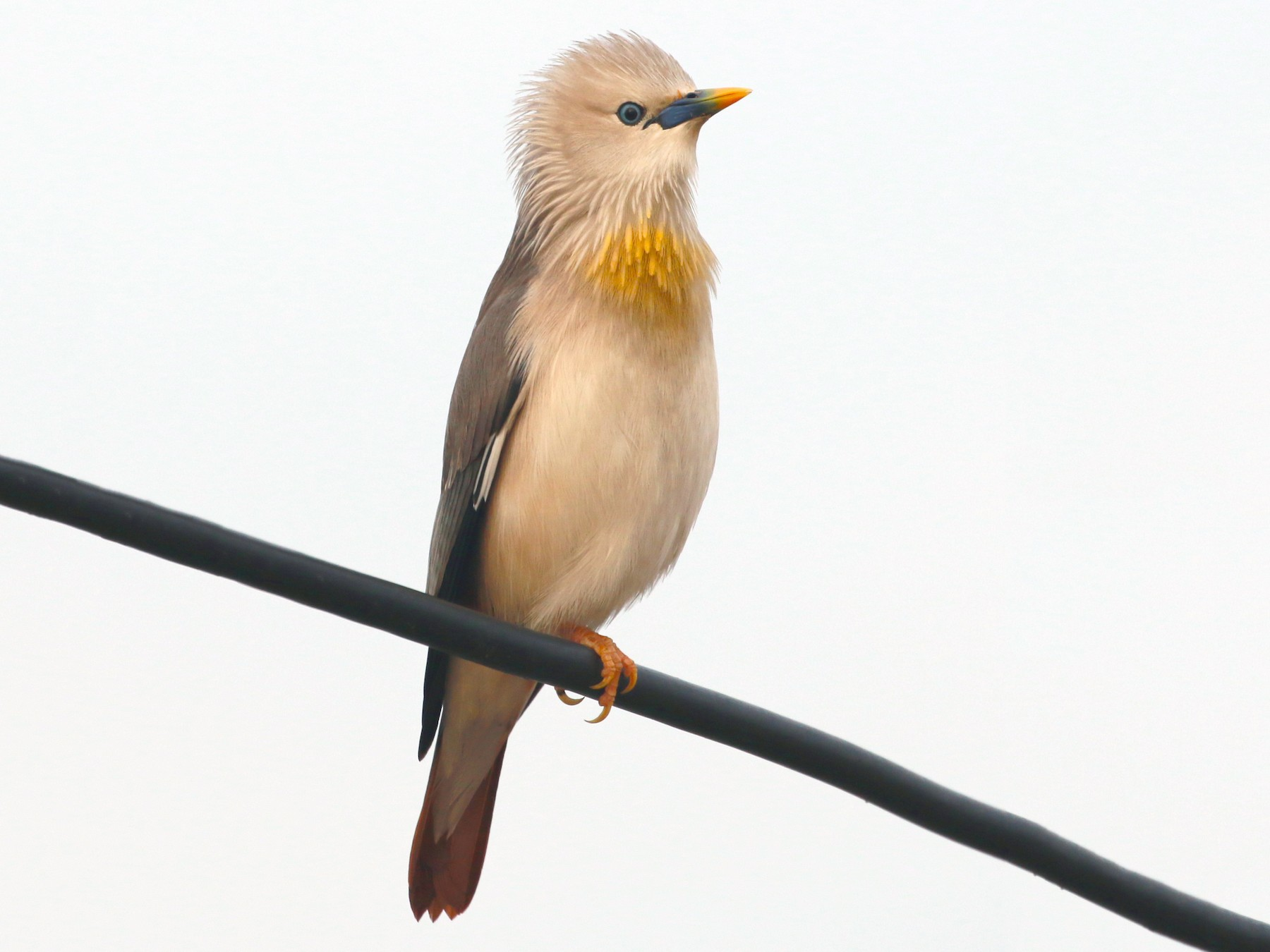 Chestnut-tailed Starling - David Stejskal