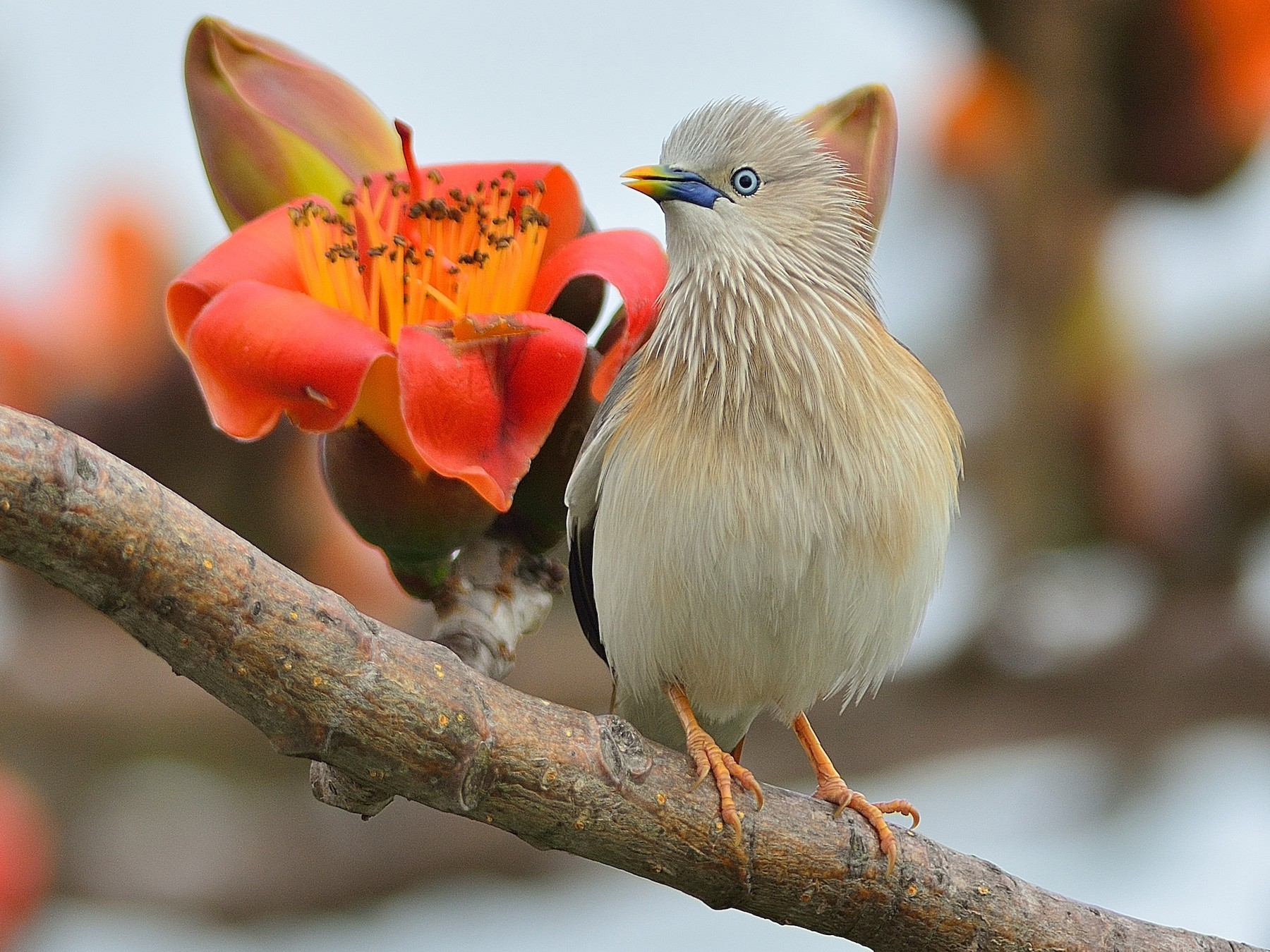 Chestnut-tailed Starling - Wbird Tsai