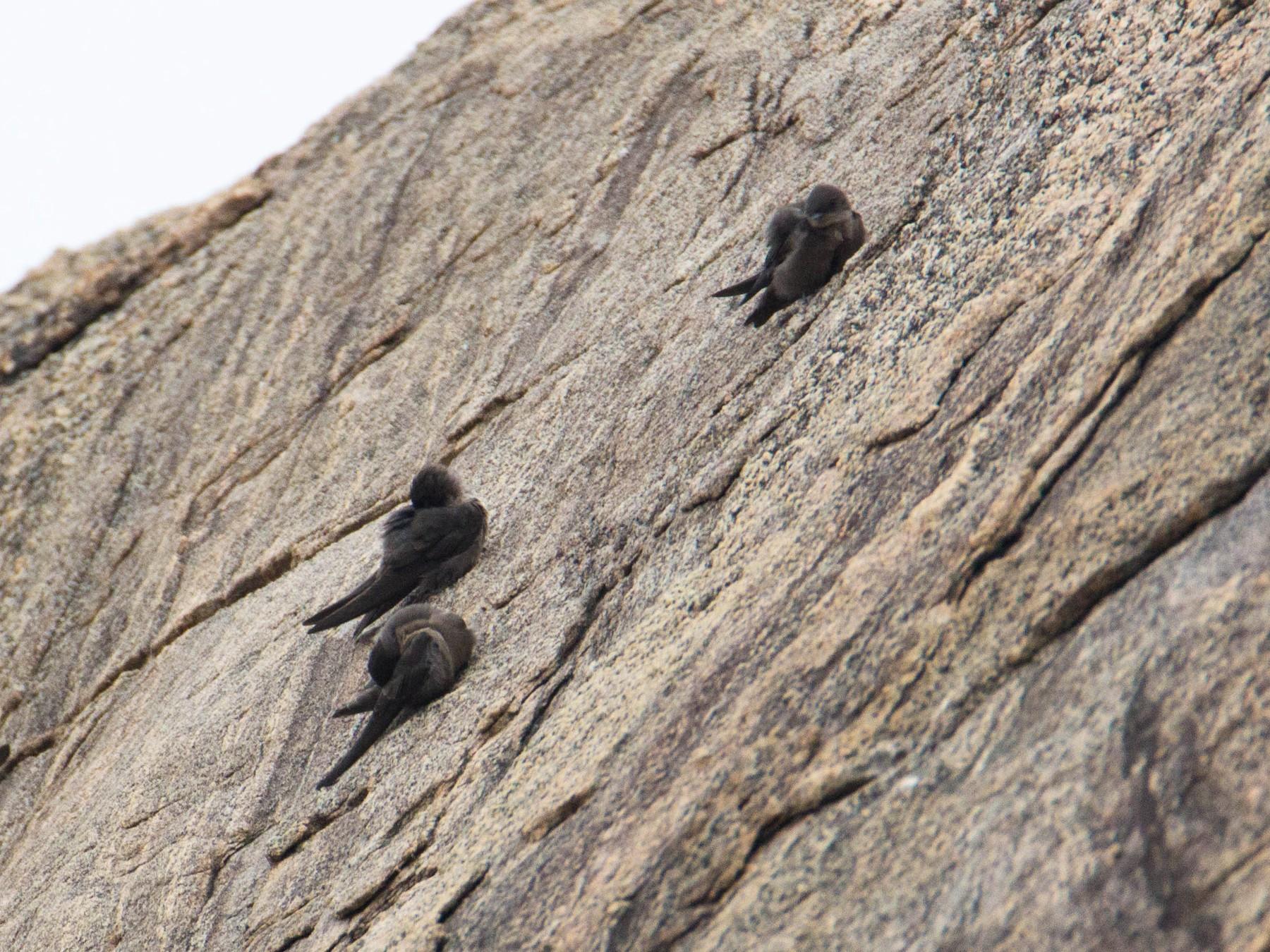 Dusky Crag-Martin - Adithya Bhat