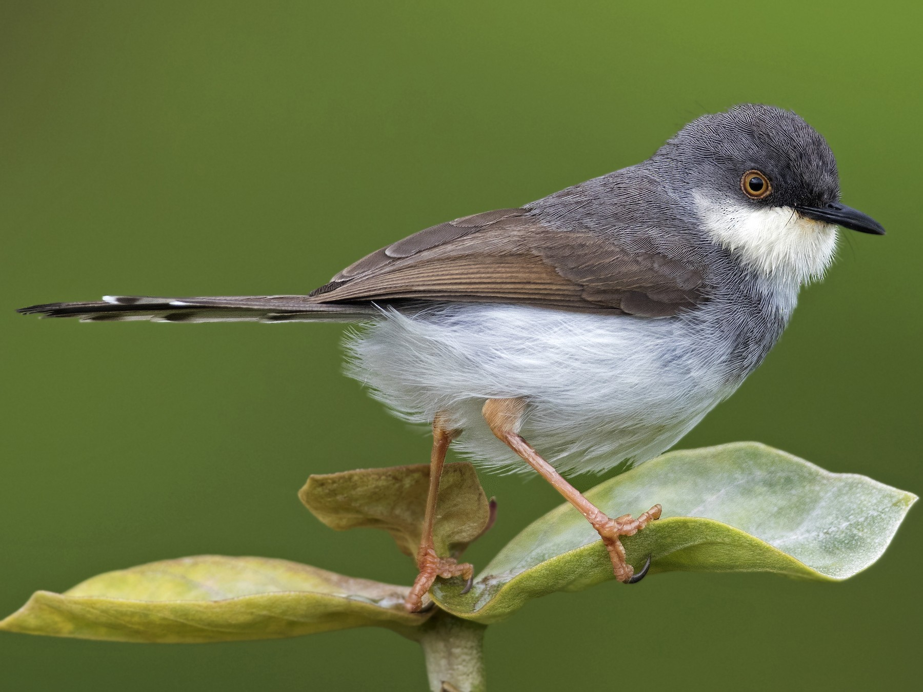 Gray-breasted Prinia - Swapnil Thatte