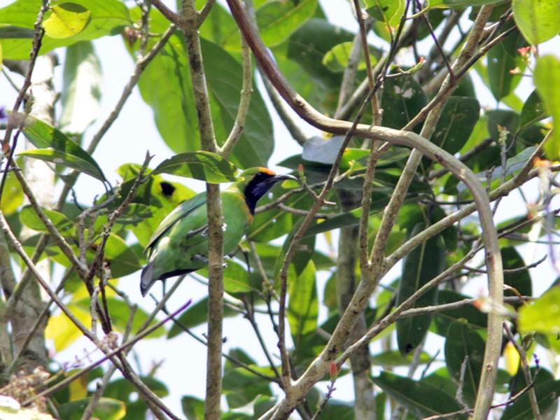 Golden-fronted Leafbird - Richard Dunn