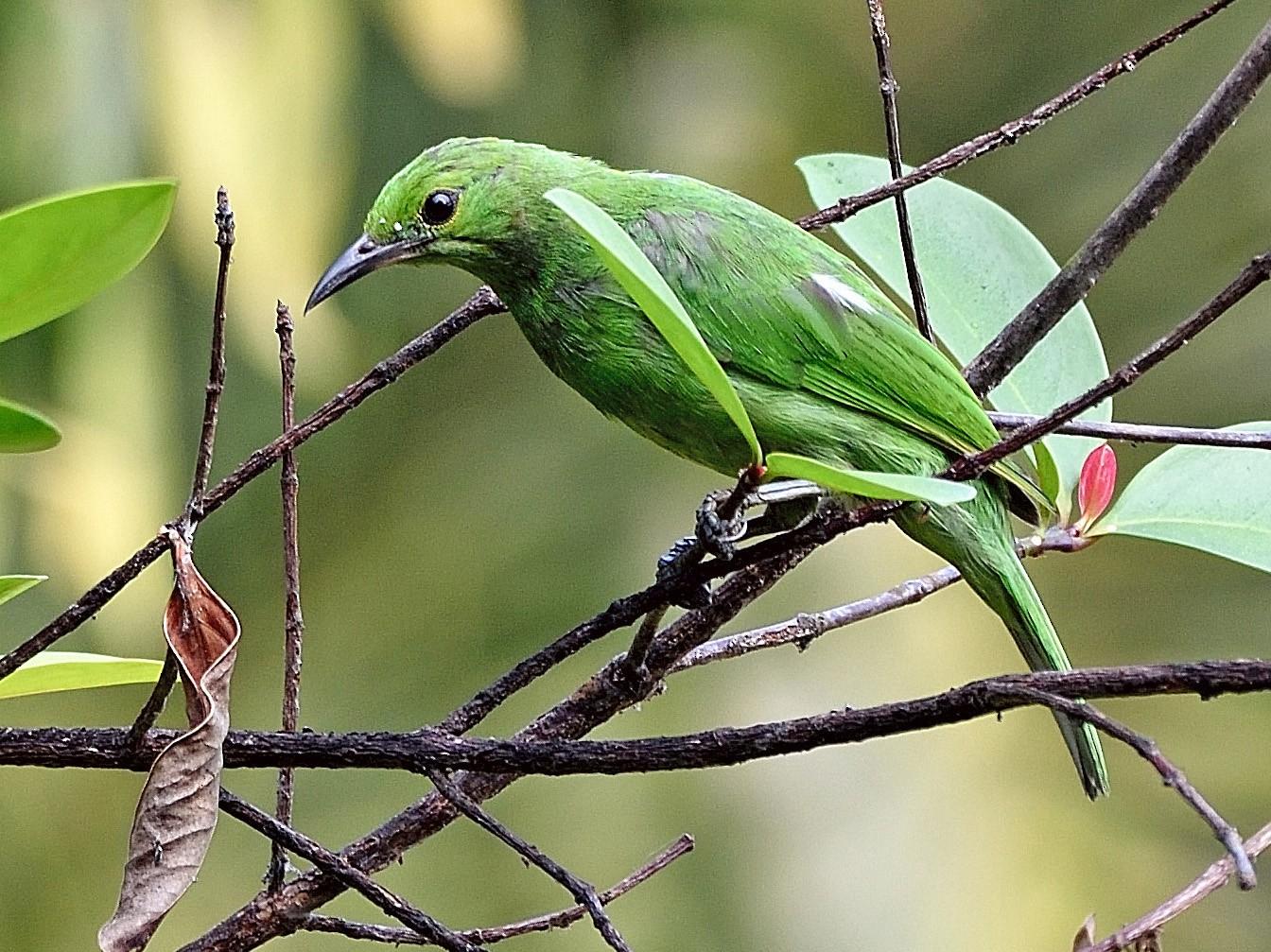 Golden-fronted Leafbird - Arun Prabhu