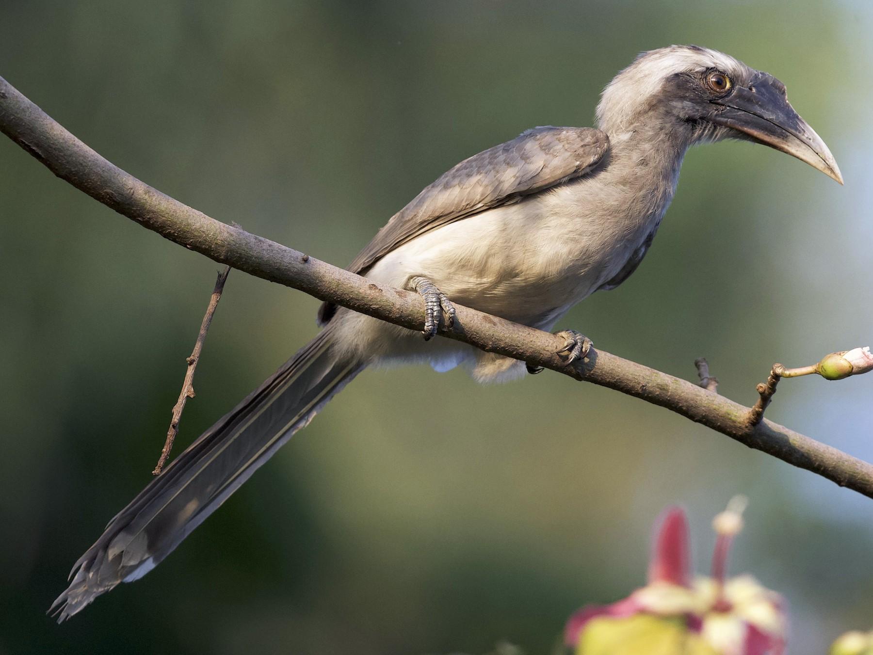 Indian Gray Hornbill - jaya samkutty