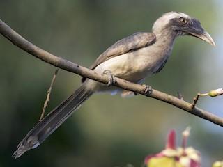 - Indian Gray Hornbill