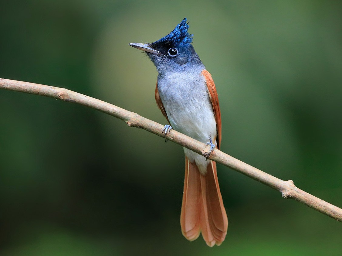 Indian Paradise-Flycatcher - eBird