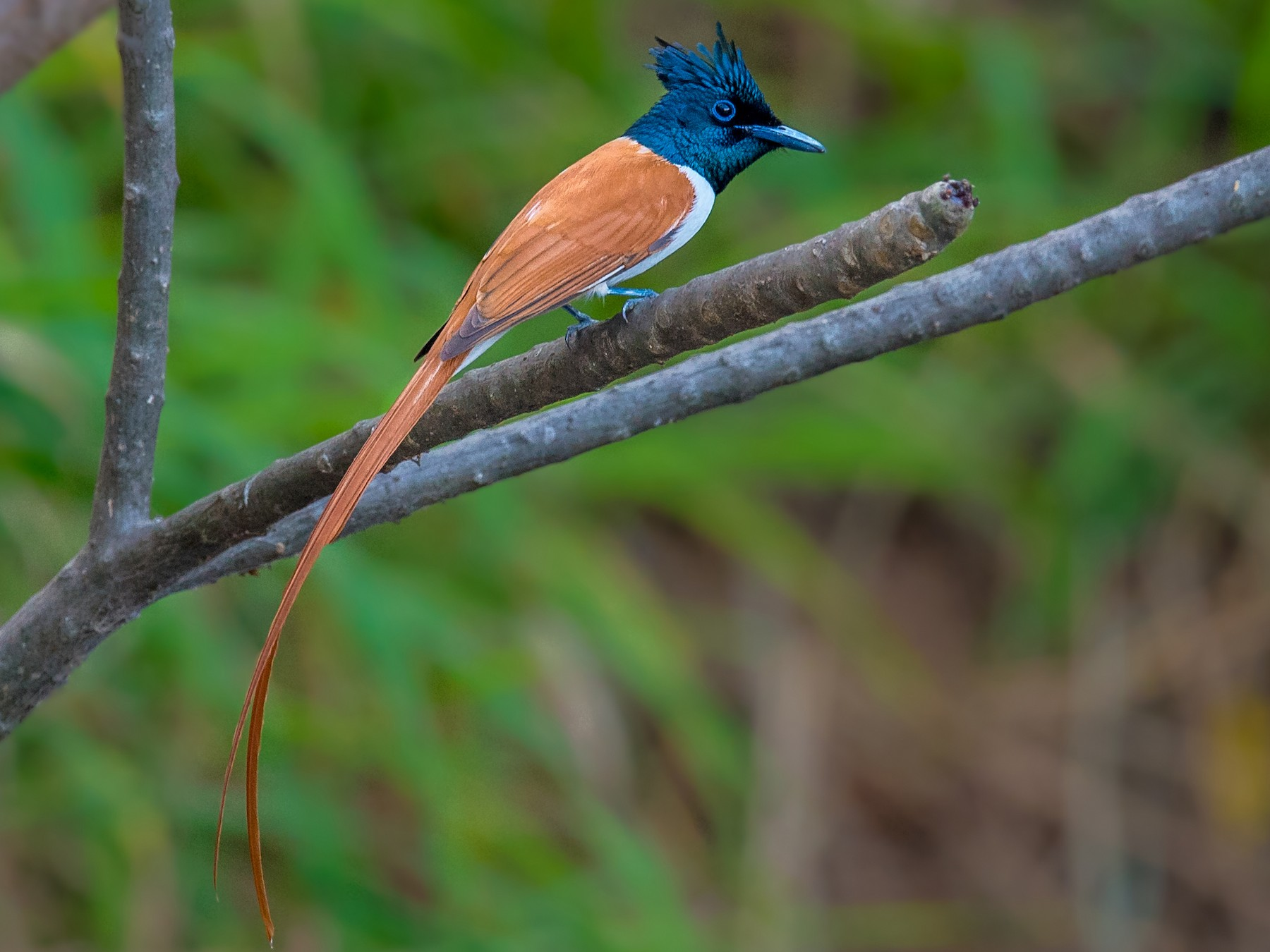 Indian Paradise-Flycatcher - Sivaguru Noopuran PRS
