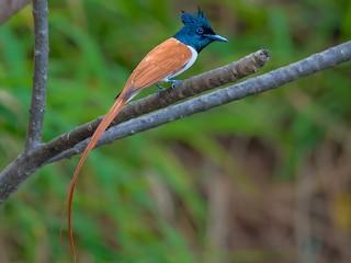 - Indian Paradise-Flycatcher