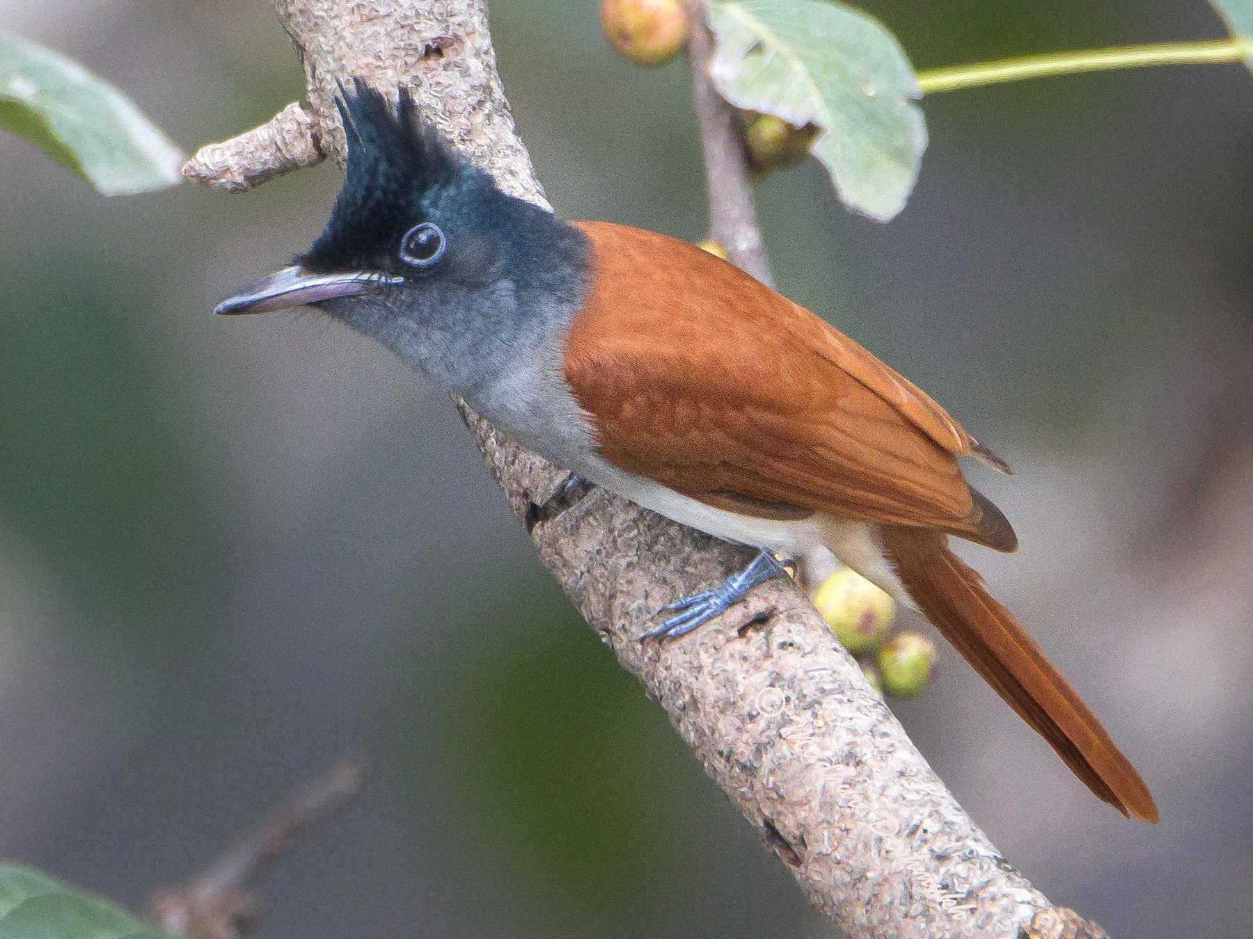 Indian Paradise-Flycatcher - Madhuri Deshmukh