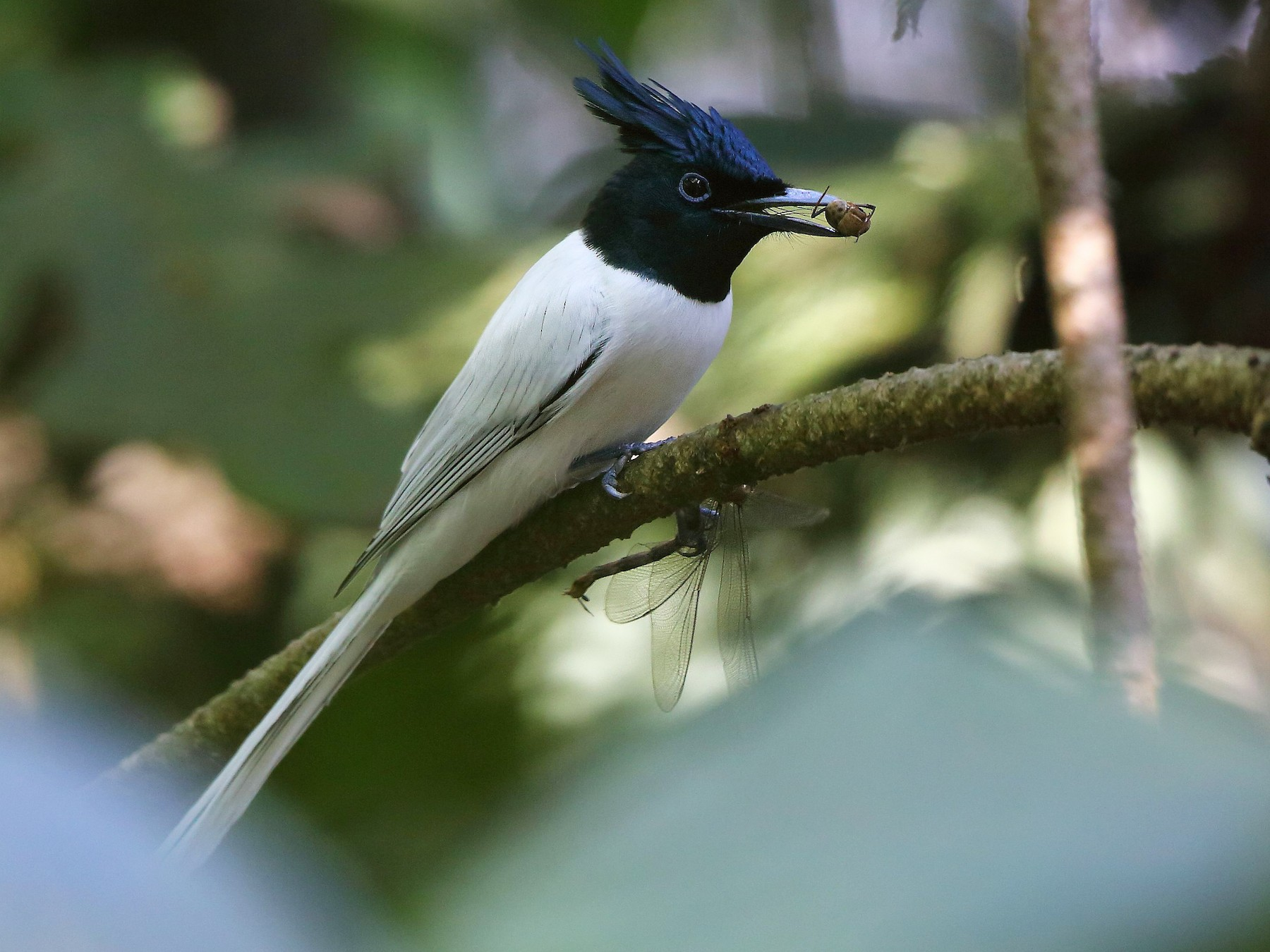 Indian Paradise-Flycatcher - Albin Jacob