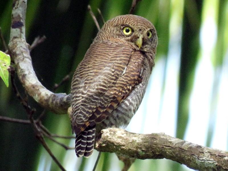 Jungle Owlet - sasidharan manekkara