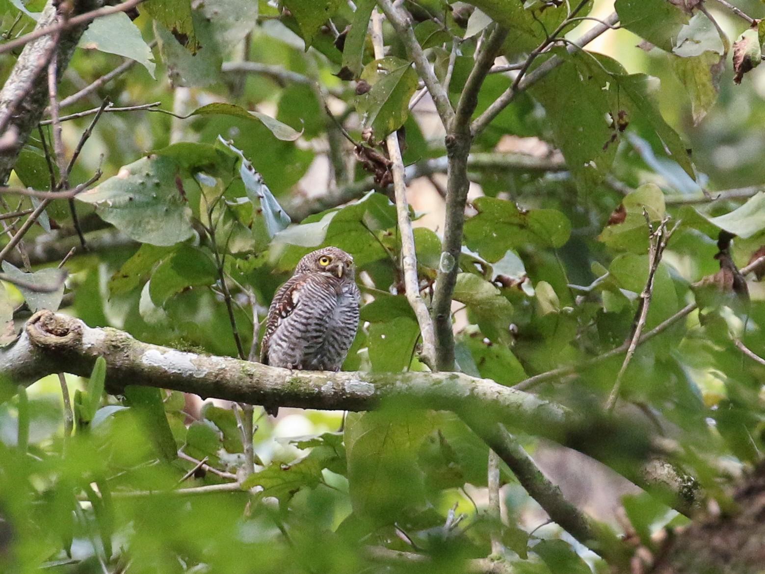 Jungle Owlet - Tommy Pedersen