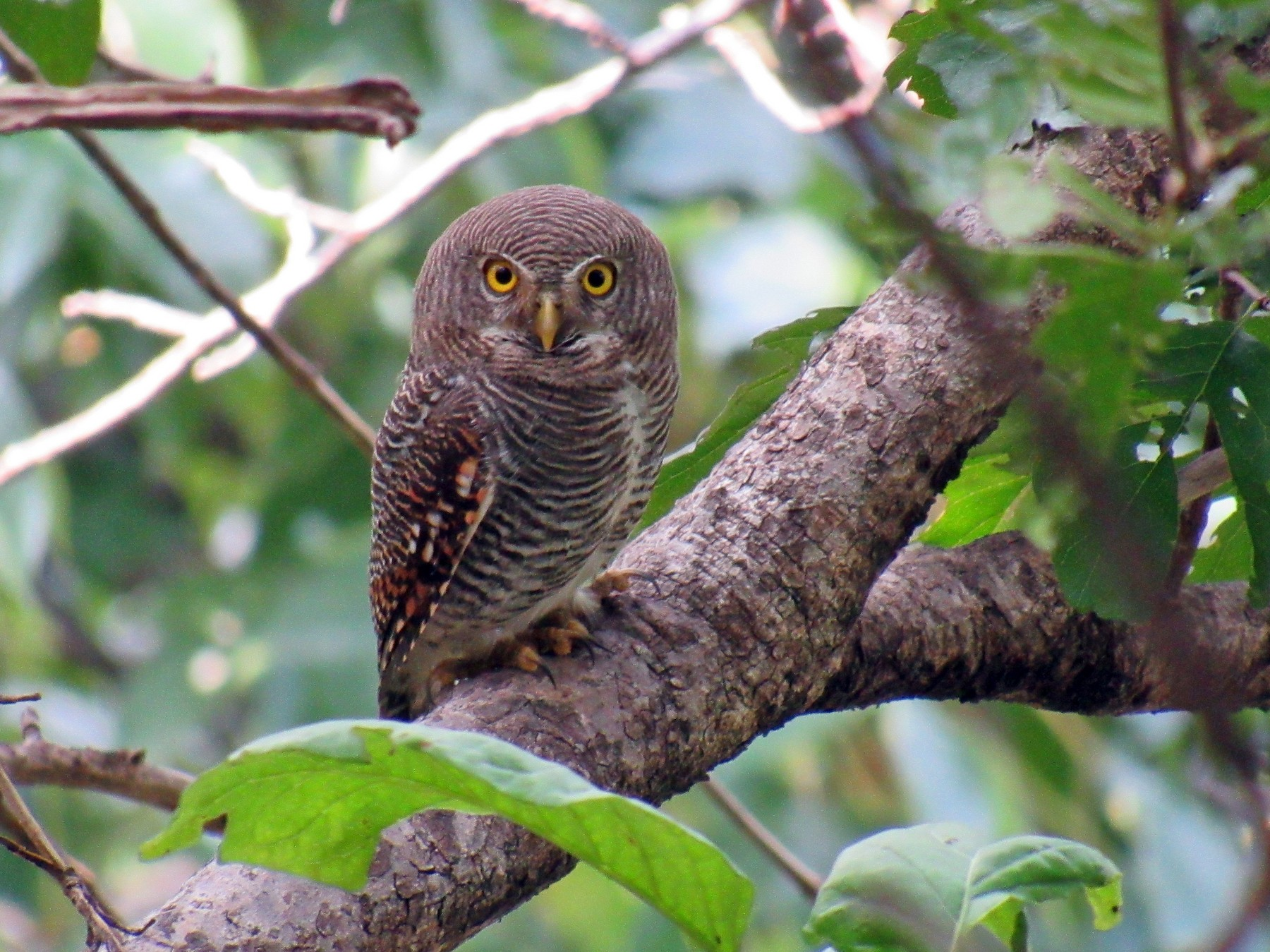 Jungle Owlet - Kalaimani Ayuthavel