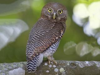 - Jungle Owlet