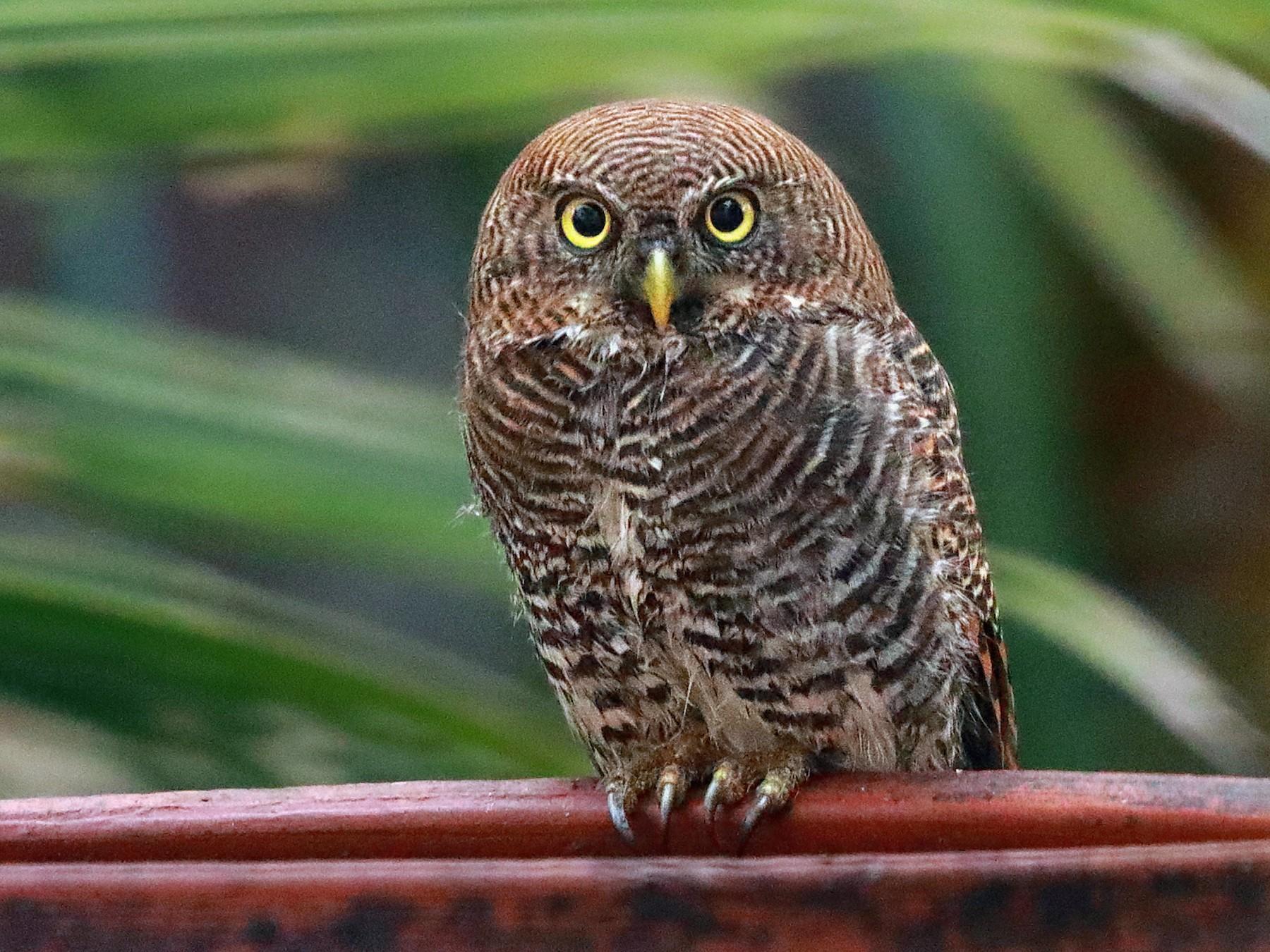 Jungle Owlet - Mukundan Kizhakkemadham