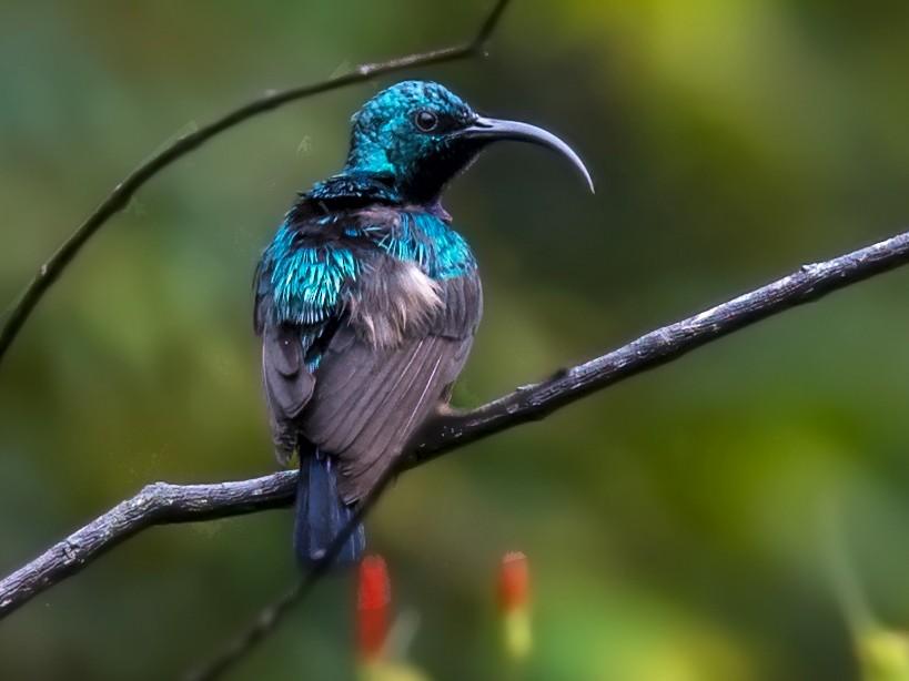 Loten's Sunbird - Sivaguru Noopuran PRS