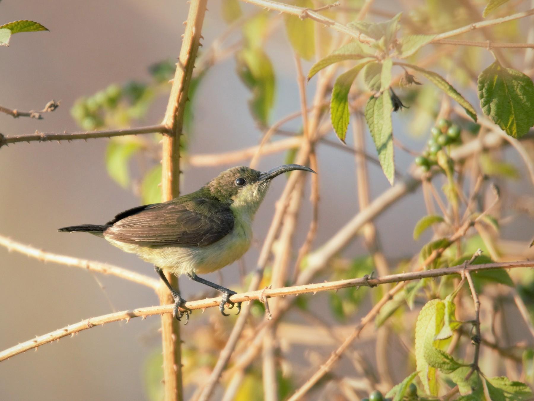 Loten's Sunbird - Prem Prakash Garg