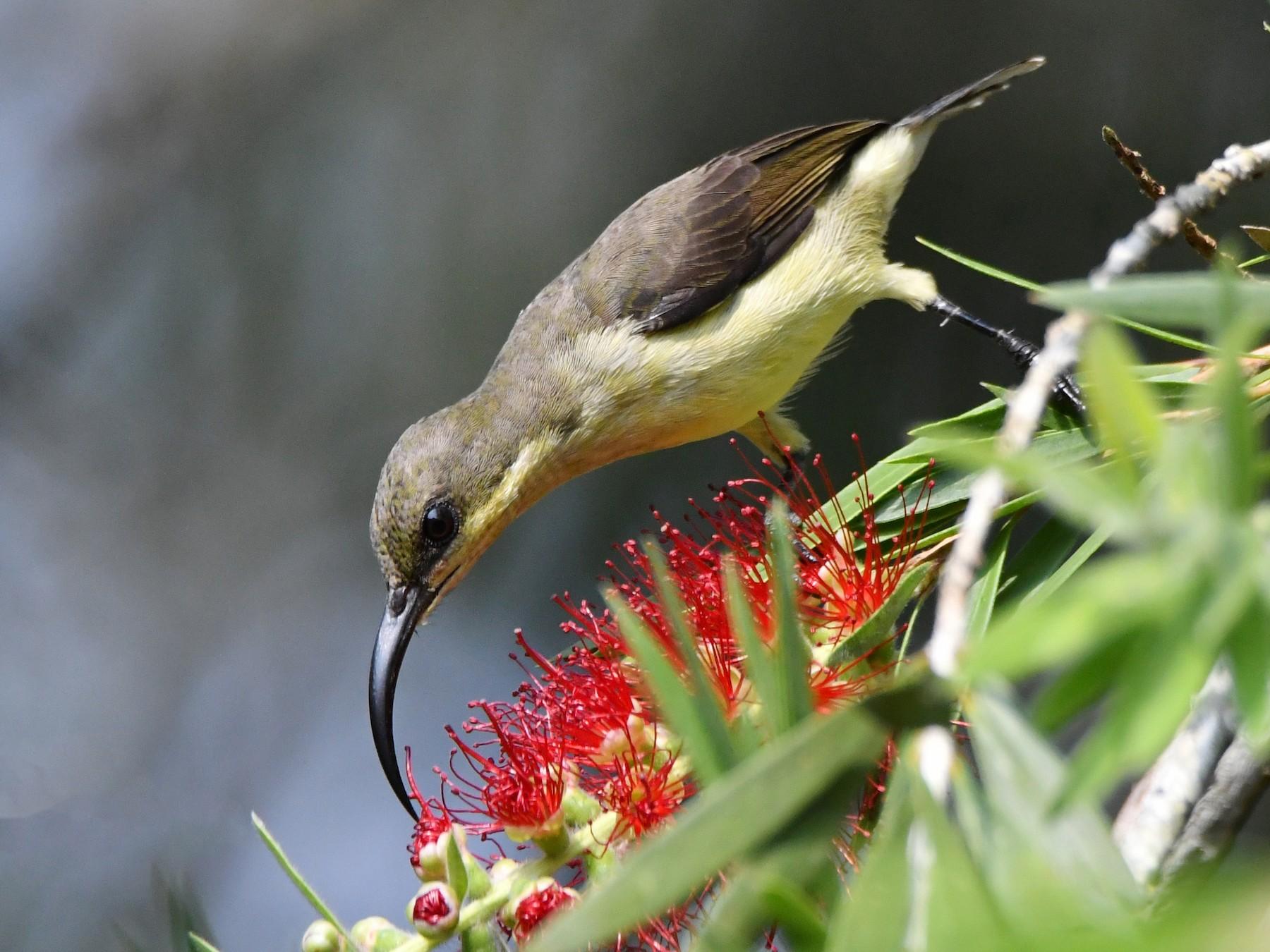 Loten's Sunbird - Bimal Modi